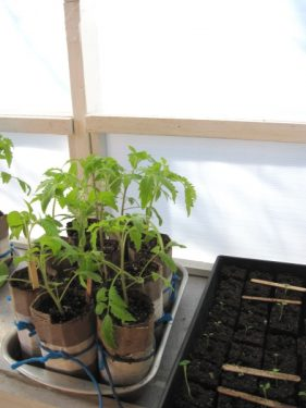 Garden Window from Inside, With Tomatoes