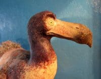 Mixed media dodo sculpture, head detail