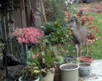 deer at birdfeeder3