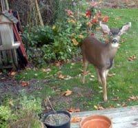 deer 003deer at birdfeeder4