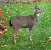 deer at birdfeeder5