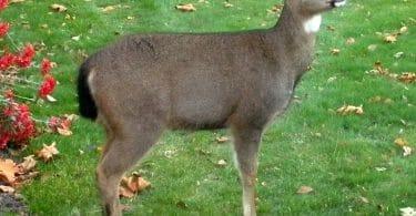 deer at birdfeeder5