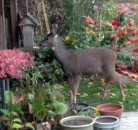 deer at birdfeeder1
