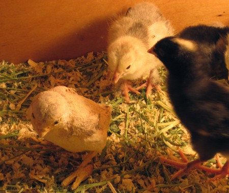 Paper mache clay chick in the brooder with real chicks.