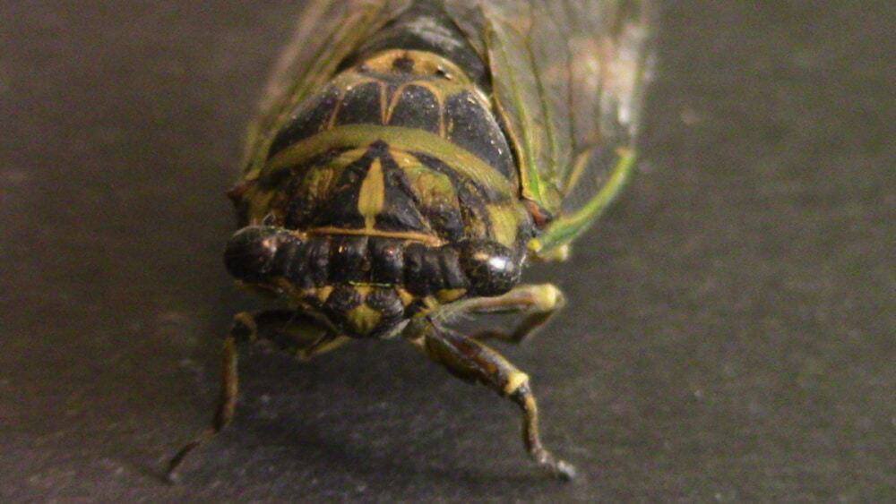 Minnesota Cicada