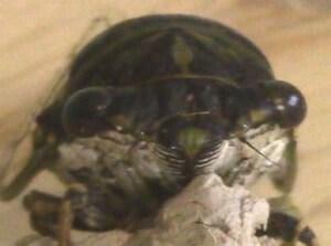 Cicada model for bug-faced mask