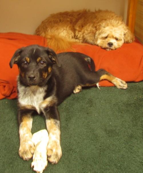 Australian Shepherd Cattle Dog Puppy