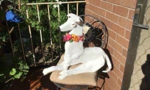 Danny the Greyhound