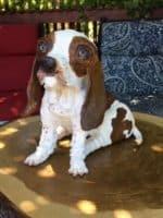 paper mache basset hound